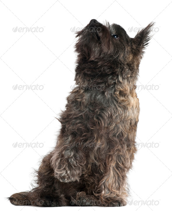 Cairn Terrier, 8 months old, sitting and looking up in front of white background - Stock Photo - Images
