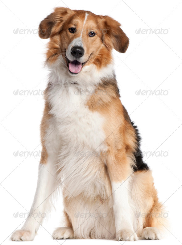 Mixed-breed dog, 2 and a half years old, sitting in front of white background - Stock Photo - Images