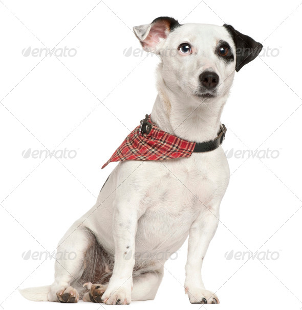 Jack Russell Terrier, 3 years old, sitting in front of white background - Stock Photo - Images