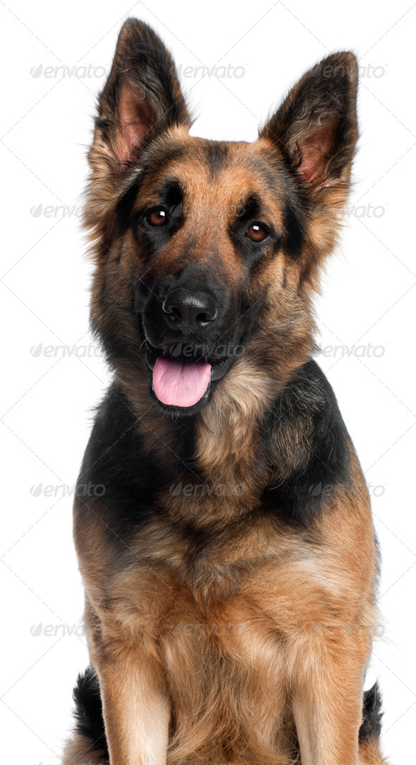 Close-up of German Shepherd Dog, 2 years old, in front of white background - Stock Photo - Images