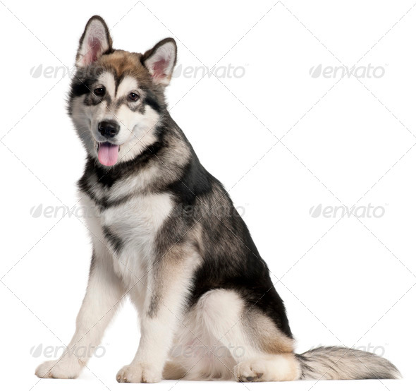 Alaskan Malmute puppy, 5 months old, sitting in front of white background - Stock Photo - Images