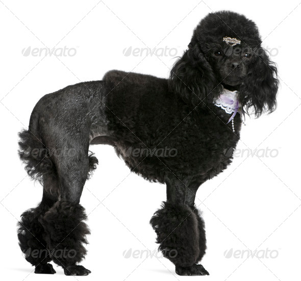 Black groomed Poodle, 2 years old, standing in front of white background - Stock Photo - Images