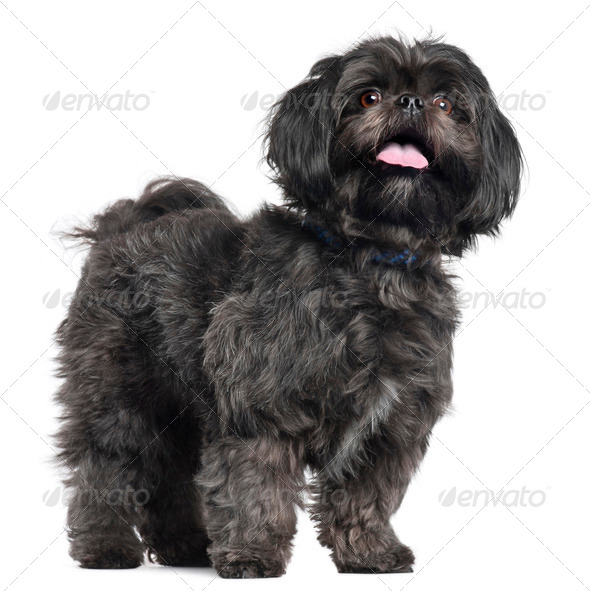 Lhasa Apso, 3 years old, standing in front of white background - Stock Photo - Images