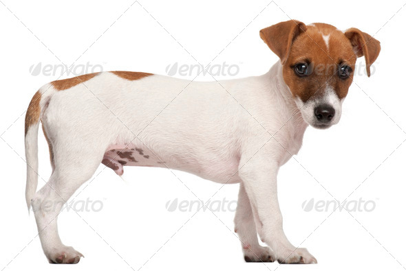 Jack Russell Terrier puppy, 3 months old, standing in front of white background - Stock Photo - Images