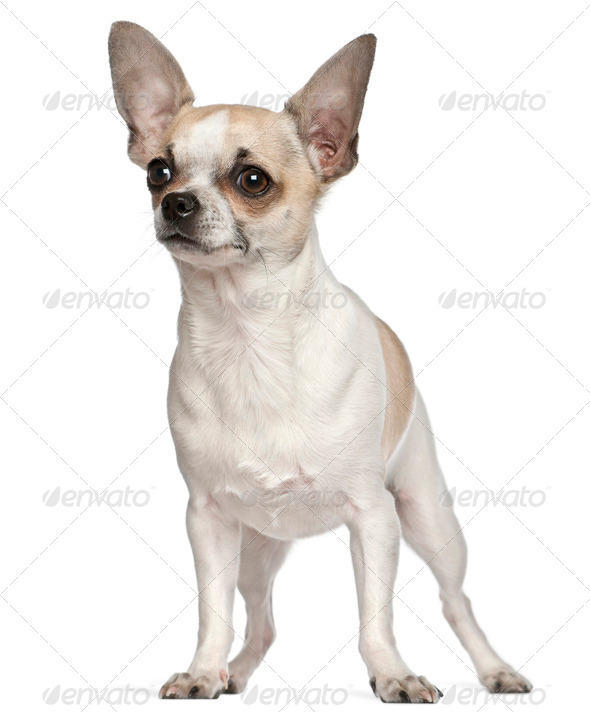 Chihuahua, 9 months old, standing in front of white background - Stock Photo - Images