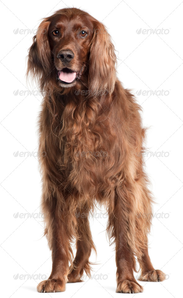Irish Setter, 5 years old, panting in front of white background - Stock Photo - Images