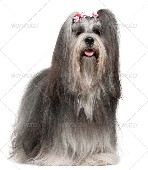 Lhasa Apso wearing hairbows, 2 years old, in front of white background - Stock Photo - Images