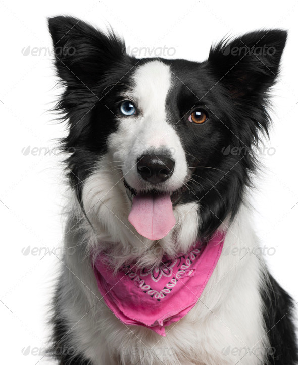 Close-up of Border Collie wearing pink handkerchief, 2 years old, in front of white background - Stock Photo - Images