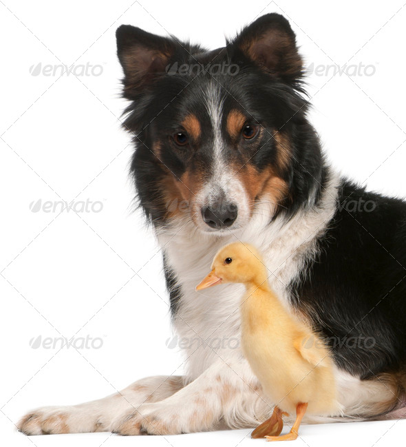 Border Collie playing with duckling, 1 week old, in front of white background - Stock Photo - Images