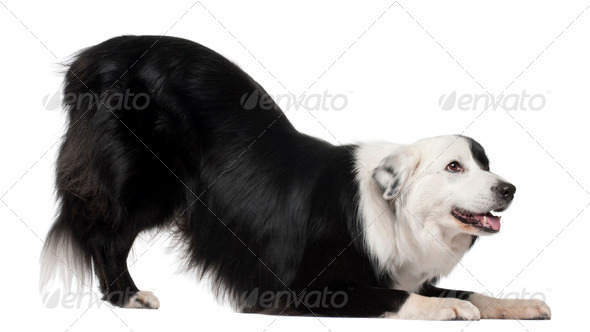 Border Collie, 8 and a half years old, stretching in front of white background - Stock Photo - Images