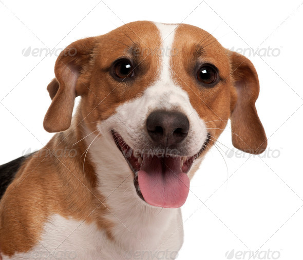 Close-up of Jack Russell Terrier, 1 year old, in front of white background - Stock Photo - Images