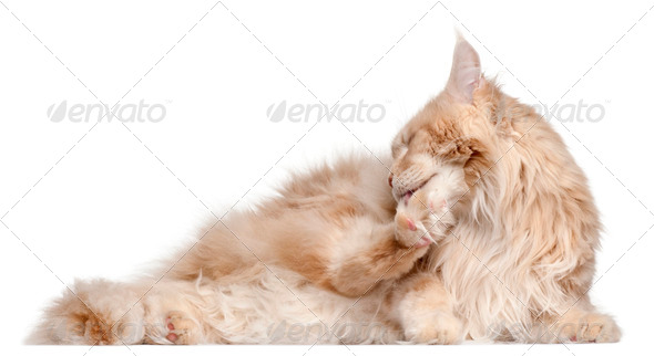 Maine Coon lying in front of white background - Stock Photo - Images
