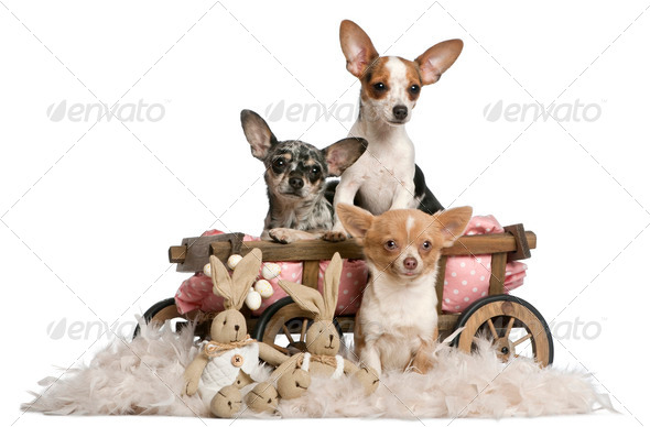 Three Chihuahuas with dog bed wagon and Easter stuffed animals in front of white background - Stock Photo - Images