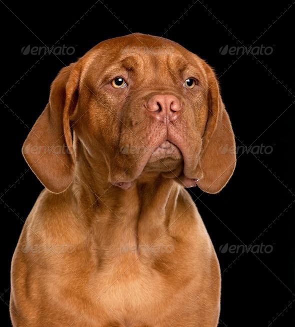 Dogue de Bordeaux puppy (6 months old) - Stock Photo - Images