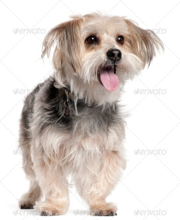 Yorkshire Terrier, 8 years old, standing in front of white background - Stock Photo - Images