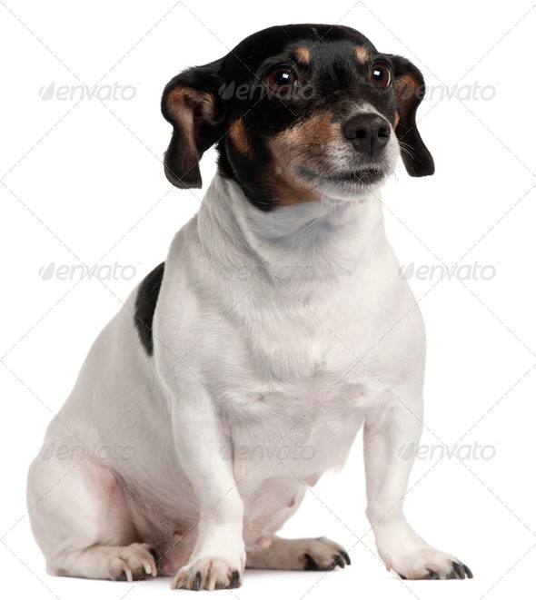 Jack Russell Terrier sitting in front of white background - Stock Photo - Images