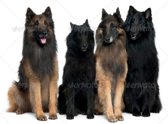 Belgian Shepherd Dogs in front of white background - Stock Photo - Images