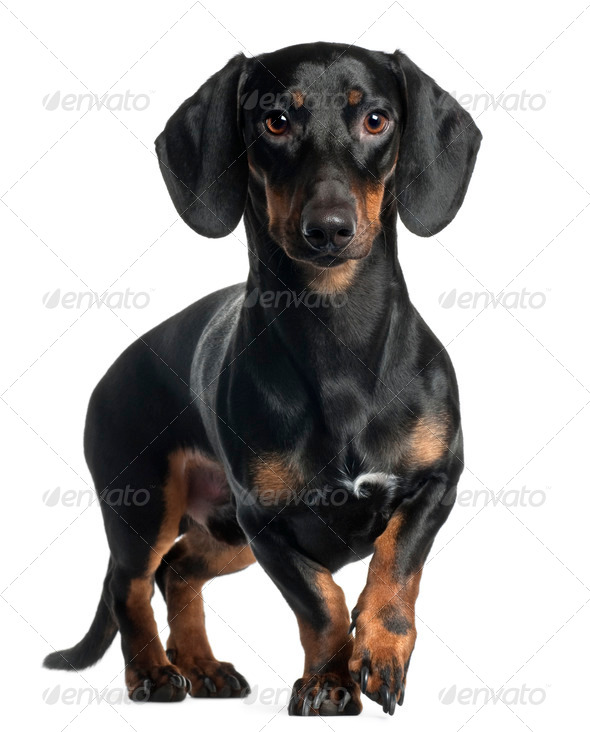 Dachshund, 1 year old, standing in front of white background - Stock Photo - Images