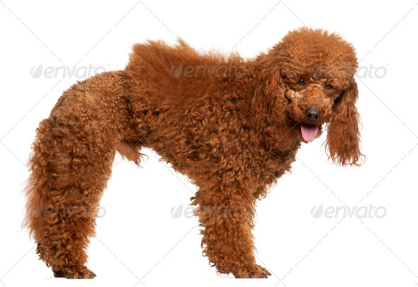 Poodle, 1 year old, standing in front of white background - Stock Photo - Images