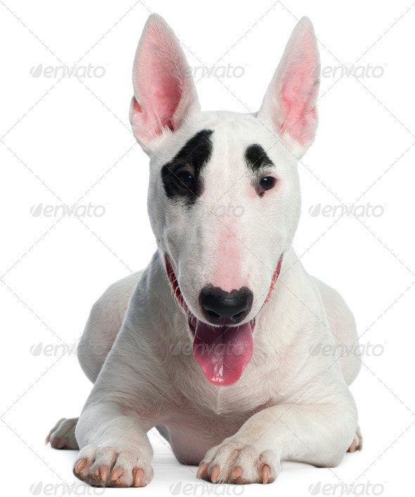 Bull Terrier puppy, 6 months old, lying in front of white background - Stock Photo - Images