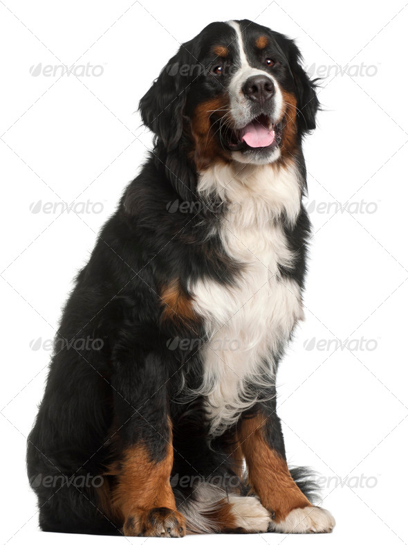 Bernese Mountain Dog, 1 year old, sitting in front of white background - Stock Photo - Images