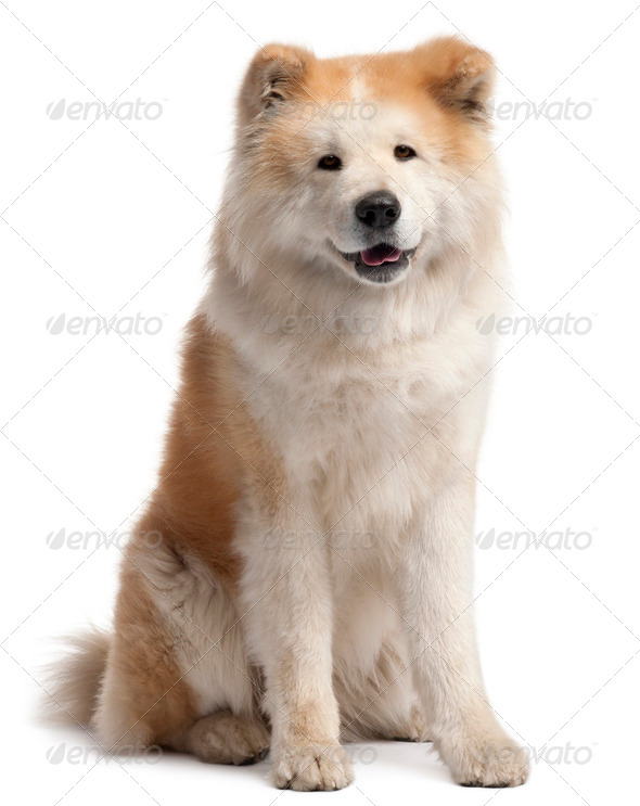 Akita Inu, 4 years old, sitting in front of white background - Stock Photo - Images