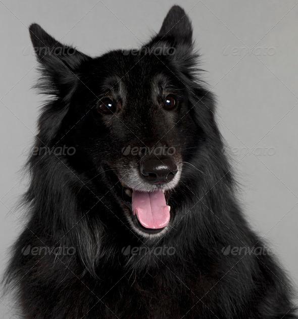 Belgian Shepherd Dog (Groenendael) (8 years old) - Stock Photo - Images