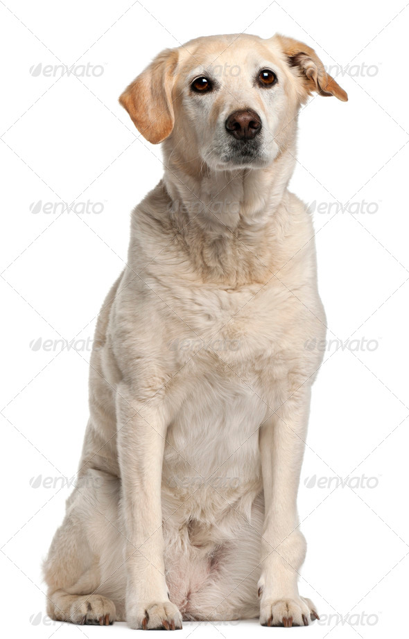 Mixed-breed dog, 12 years old, sitting in front of white background - Stock Photo - Images