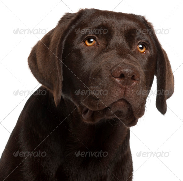 Close-up of Labrador Retriever puppy, 5 months old, in front of white background - Stock Photo - Images