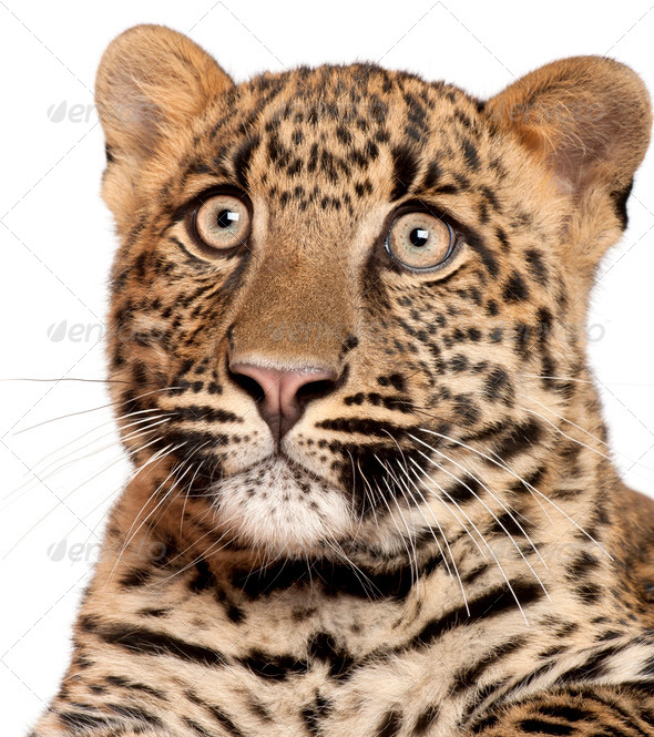 Close-up of Leopard, Panthera pardus, 6 months old, in front of white background - Stock Photo - Images