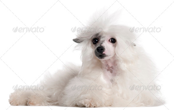 Chinese Crested Dog, 1 year old, lying in front of white background - Stock Photo - Images