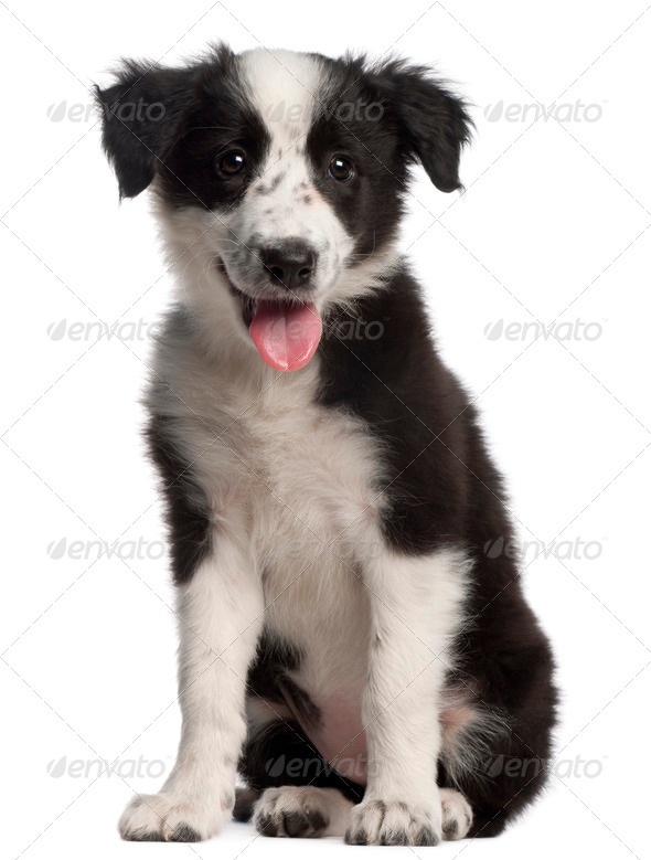 Border Collie puppy, 3 months old, sitting in front of white background - Stock Photo - Images