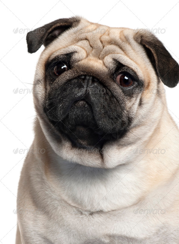Close-up of Pug, 2 Years old, in front of white background - Stock Photo - Images