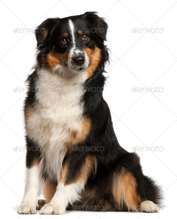 Miniature Australian Shepherd, 2 years old, sitting in front of white background - Stock Photo - Images