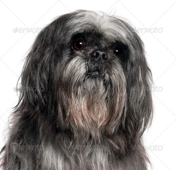 Close-up of Shih Tzu, 9 years old, in front of white background - Stock Photo - Images