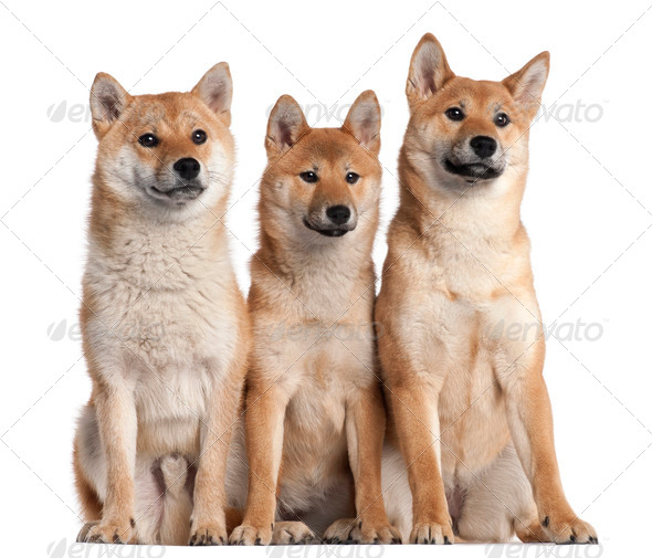 Three Shiba Inu puppies, 6 months old, in front of white background - Stock Photo - Images