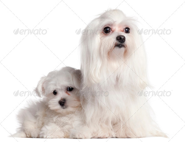 Maltese, 9 years old, and Maltese puppy, 3 months old, in front of white background - Stock Photo - Images