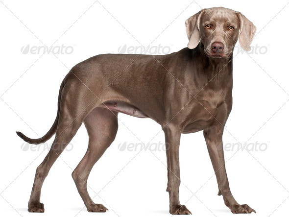 Weimaraner, 12 months old, standing in front of white background - Stock Photo - Images