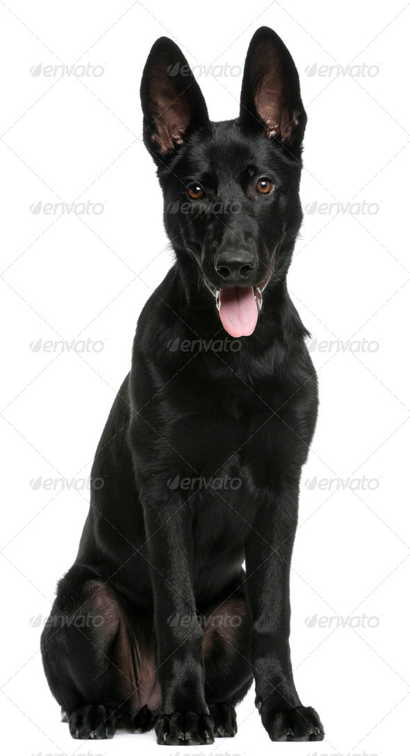 German Shepherd puppy, 5 months old, sitting in front of white background - Stock Photo - Images