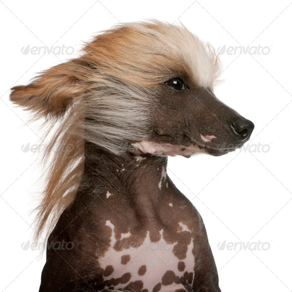 Close-up of Chinese Crested Dog with hair in the wind, 7 years old, in front of white background - Stock Photo - Images