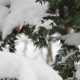 Pine Tree With Snow 02 - VideoHive Item for Sale