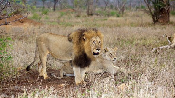 Lion and Lioness - Stock Photo - Images