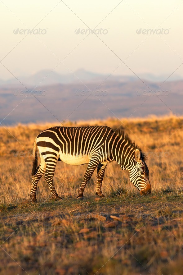 Mountain Zebra - Stock Photo - Images