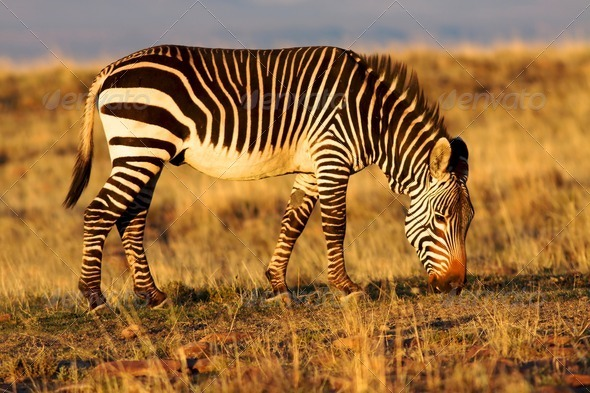Mountain Zebra - Stock Photo - Images