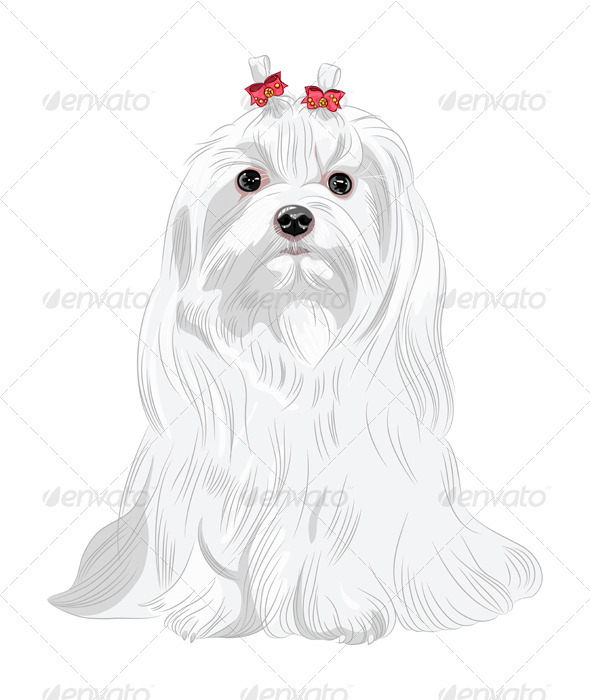 Vector Serious white Dog Maltese Breed Sitting - Animals Characters