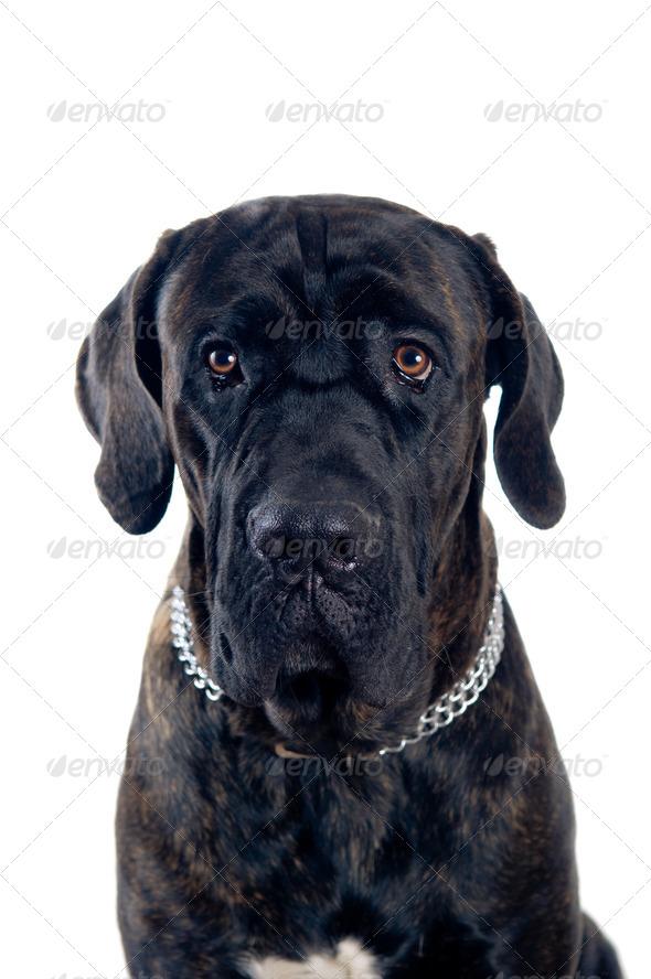 Cane-corso dog portrait - Stock Photo - Images