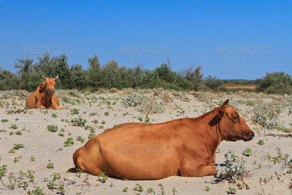 Cows on the beach - Stock Photo - Images