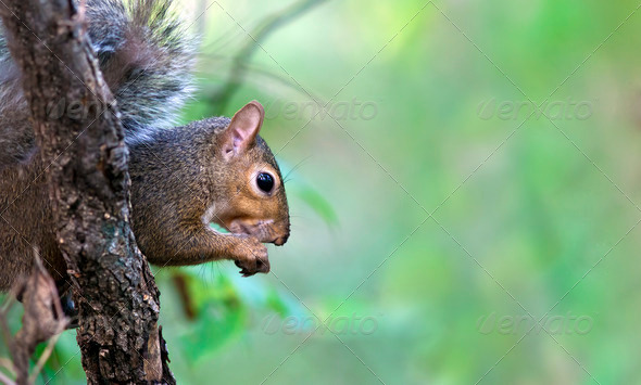 Squirrel In A Tree - Stock Photo - Images