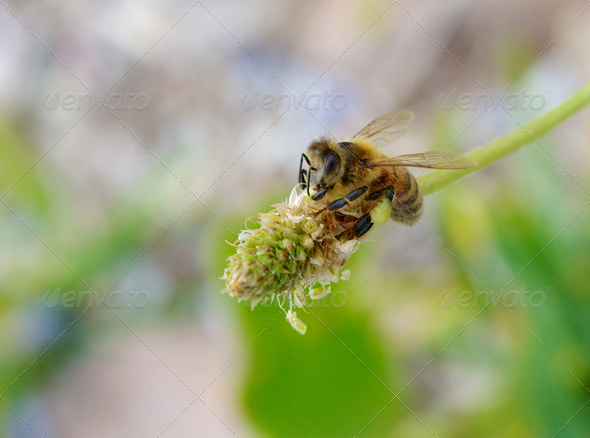 Bee on flower - Stock Photo - Images