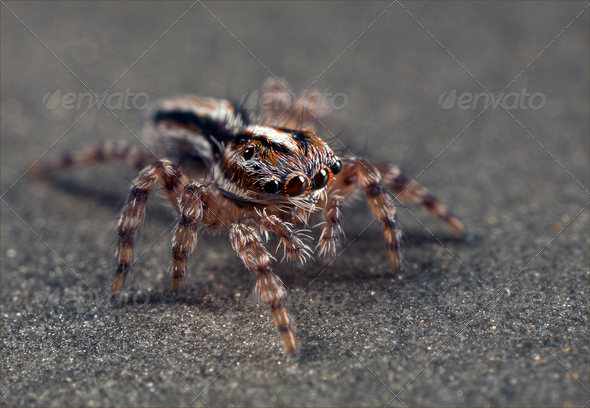 Brown jumping spider - Stock Photo - Images